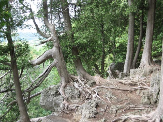 Cedar trees along the Niagara Escarpment