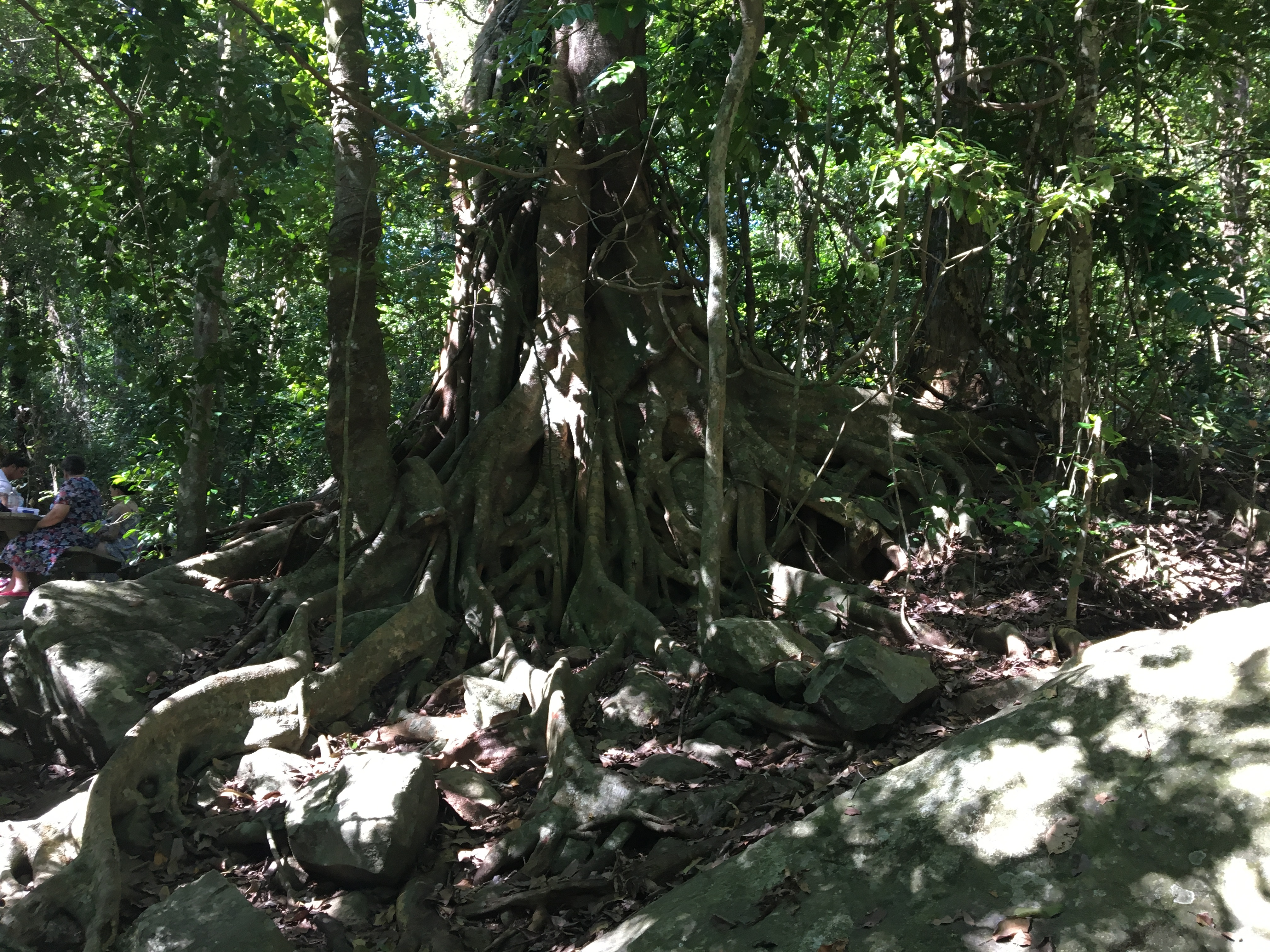 Giant fig tree in the Paluma Rainforest
