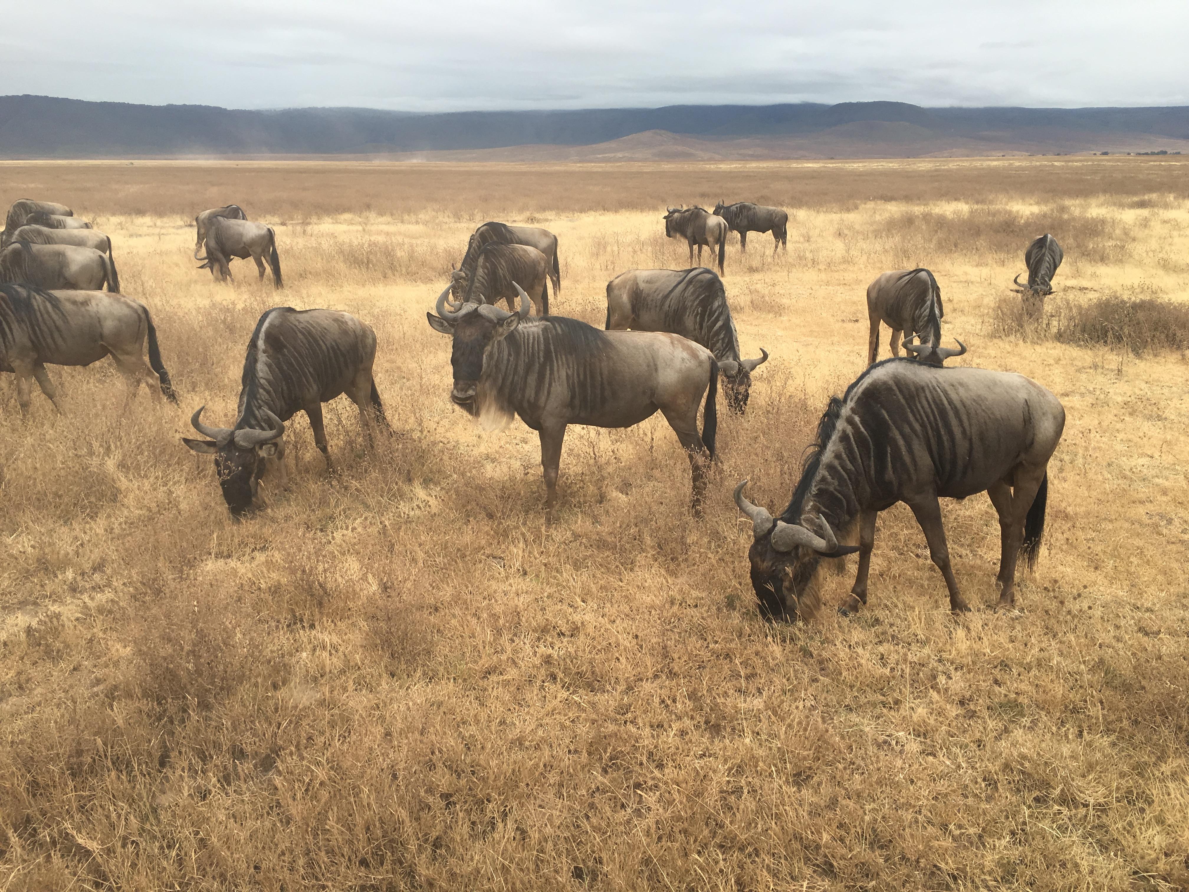 wildebeest herd in the Ngorongoro Crater