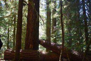 Fallen Trees on the Old Growth Trail
