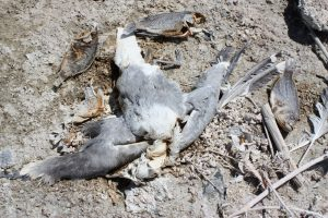 Kesterson Wildlife Refuge animal deaths