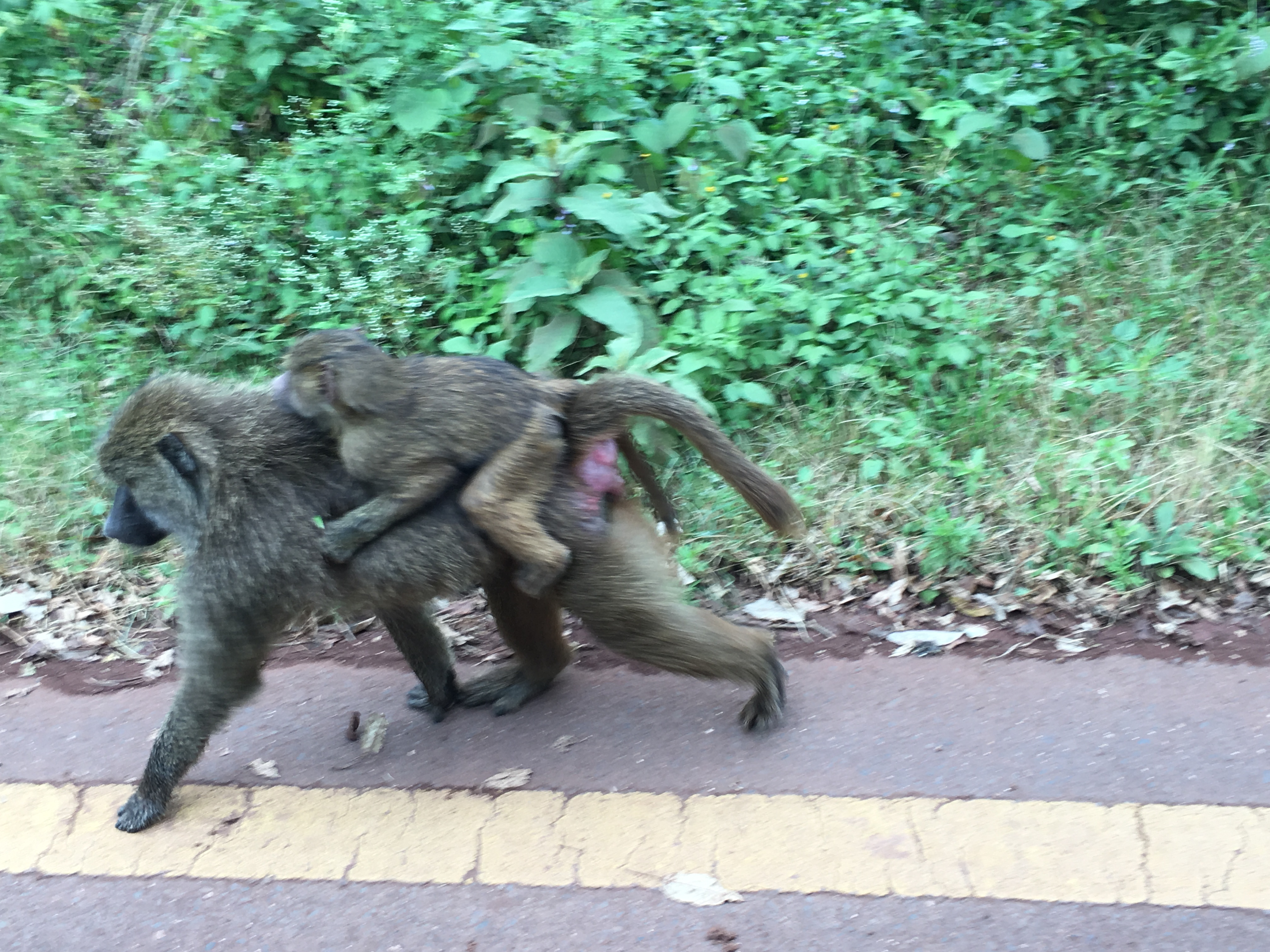 Some baboons while leaving Ngorongoro Crater