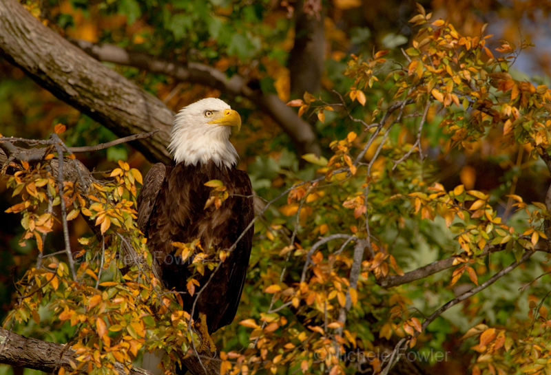 A bald eagle perched up in the trees during the autumn. The resident eagles along the James do not migrate. Photo courtesy of Discover the James / Photo by Shelley Fowler